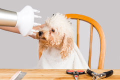 Concept of wet poodle dog fur being blown dry and groom after shower at salon Stock Photos