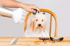 Concept of wet poodle dog fur being blown dry and groom after shower at salon Royalty Free Stock Photo