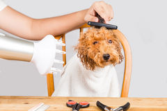 Concept of wet poodle dog fur being blown dry and groom after shower at salon Stock Image