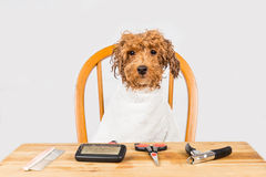 Concept of wet poodle dog seated after shower ready to be groomed in salon Stock Photos