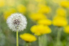 Concept white dandelion among yellow stand out old age  youth royalty free stock photography