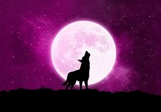 Concept wolf, werewolf in front of the moon at a starful violett night. Silhouette of a wolf standing in front of a big white moon and crying. The sky is dusty vector illustration
