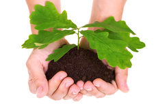 Concept of a young oak tree in woman hands Royalty Free Stock Images
