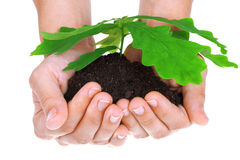 Concept of a young oak tree in woman hands Stock Images