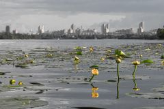 Conception. Yellow water lilies in the background of a big city Stock Photos