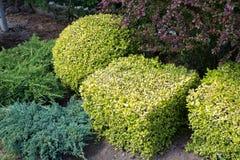 Conception d'horizontal Buissons bien équilibrés dans le jardin Photos libres de droits