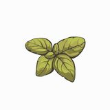 Conception de leafes de Basil rétro illustration stock