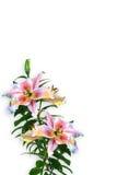 Conception florale de coin d'invitation de lis Image stock