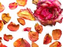 Conception sèche de rose Photographie stock libre de droits