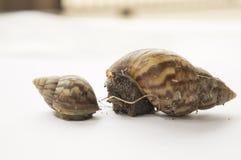 Concepto animal lento del limo de la naturaleza del paseo del primer del caracol Imágenes de archivo libres de regalías