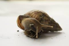 Concepto animal lento del limo de la naturaleza del paseo del primer del caracol Fotografía de archivo