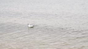 Concepto animal Una gaviota con los pescados en sus nadadas del pico en el mar Mar Báltico metrajes