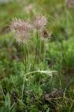 Concepto consciente de Eco Planta de desaparición rara del libro rojo de floraciones en un fondo de la hierba verde fotografía de archivo libre de regalías