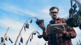 Concepto dañado de la cosecha Una persona toca un girasol secado en un campo, visión inferior almacen de metraje de vídeo