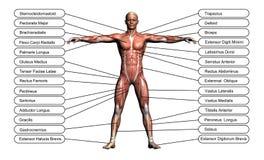 Concepto de alta resolución o anatomía conceptual del ser humano 3D Foto de archivo libre de regalías