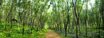 Concepto de Forest Lane Rubber Tree Plantation que encanta imágenes de archivo libres de regalías
