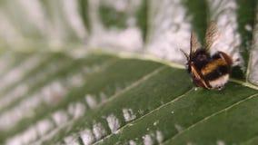 Concepto de la alarma de la naturaleza: cercano para arriba de manosear a muertos del bombus de la abeja en foco selectivo en una almacen de video