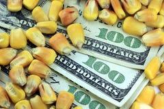 Concepto de la compra y venta de productos básicos - billete de dólar de la moneda ciento de los E.E.U.U. con maíz amarillo Imagen de archivo libre de regalías