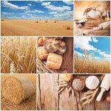 Concepto de la cosecha del trigo Imagen de archivo libre de regalías