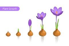 Concepto de la evolución del crecimiento vegetal de la flor del azafrán Foto de archivo libre de regalías