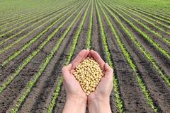 Concepto de la haba de la soja, manos con la cosecha de la haba de la soja y campo Foto de archivo