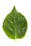 Concepto de la naturaleza Hoja verde agradable con los waterdrops en blanco Imágenes de archivo libres de regalías