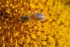 Concepto de la polinización de la abeja de la miel Semillas e insecto de girasol macras de la visión que buscan el néctar Profund Foto de archivo