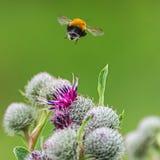 Concepto de la polinización: primer de un vuelo del abejorro lejos de la gran flor púrpura del cardo de globo, fondo verde borros Fotografía de archivo