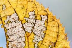 Concepto de los cambios de las estaciones El esqueleto colorido de la hoja del álamo temblón del otoño texturizó la opinión de la Imagen de archivo
