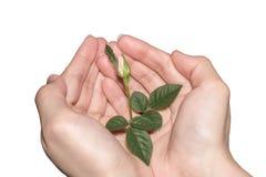 Concepto de protección de la naturaleza el brote verde en manos en un blanco aisló el fondo Foto de archivo