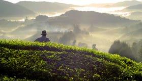 Concepto de Tea Leaf Plantation Malasia del granjero Imagenes de archivo