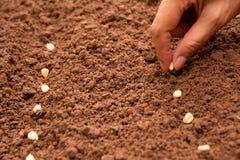 Concepto del almácigo por la mano humana, semilla sembrada humana del maíz Foto de archivo