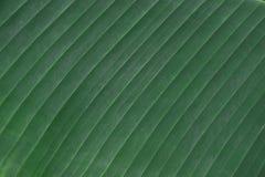 Concepto del ambiente, fondo de la textura de la hoja del plátano Imagen de archivo