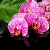Concepto del balneario de ramita floreciente de la orquídea violeta pelada Foto de archivo libre de regalías