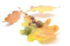 Concepto del otoño con las bellotas Foto de archivo libre de regalías