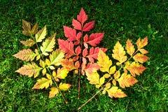 concepto del otoño, tres hojas de amarillo a la colocación roja en hierba Fotografía de archivo
