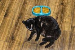 Concepto del problema de la obesidad de animales domésticos el gato gordo puede comer no más, los problemas de salud del animal d foto de archivo libre de regalías