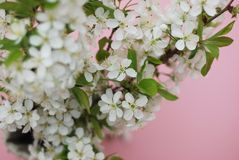 Concepto del saludo de la tarjeta del fondo de Cherry Blossoms Bunch Spring Pink de las flores blancas Imagen de archivo