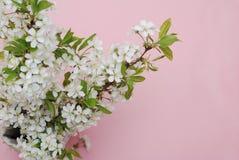 Concepto del saludo de la tarjeta del fondo de Cherry Blossoms Bunch Spring Pink de las flores blancas Imagen de archivo libre de regalías
