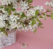 Concepto del saludo de la tarjeta del fondo de Cherry Blossoms Bunch Spring Pink de las flores blancas Foto de archivo libre de regalías