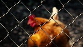 Concepto: Pollo australiano atrapado detrás de una jaula almacen de video