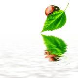 Concepto puro de la naturaleza - hoja y agua de la mariquita Fotografía de archivo