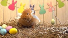 Concepto tradicional del símbolo del conejo de la celebración mullida de pascua en el heno que va hacia cámara almacen de video