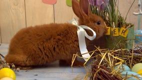 Concepto tradicional del símbolo del conejo de la celebración mullida de pascua que funciona con lejos el primer metrajes