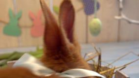 Concepto tradicional del símbolo del conejo de la celebración mullida de pascua que se mueve en primer de madera de la cerca almacen de metraje de vídeo