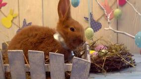 Concepto tradicional del símbolo del conejo de la celebración mullida de pascua que se sienta en una caja de madera que mira la c almacen de metraje de vídeo