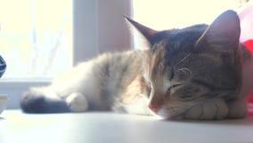 Concepto tricolor rayado el dormir del gato El gato está durmiendo en el travesaño de la ventana que la luz del sol con la ventan almacen de video