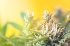 Concepts of legalizing herbs weed. buds grown cannabis in the house. Macro shot with sugar trichomes. stock image