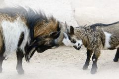 Conceptual image of the confrontation, two young and old goats a. Re horny Stock Images