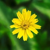 The imperfect Melampodium Divaricatum flower Royalty Free Stock Photo